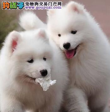 长期供应健康萨摩耶多只可选 欢迎来三亚犬舍商谈购买