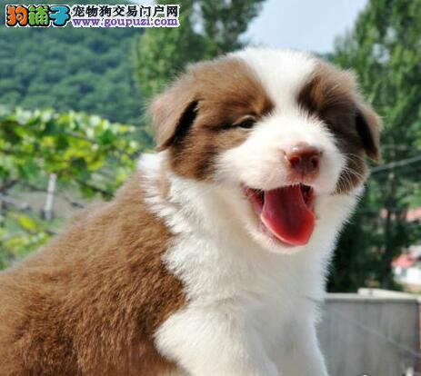 出售聪明第一边境牧羊犬 广州纯种边牧犬 牧羊犬价格