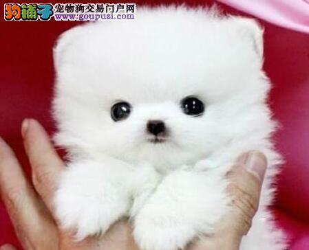 出售纯种小型武汉犬博美犬包养活签协议买狗送用品