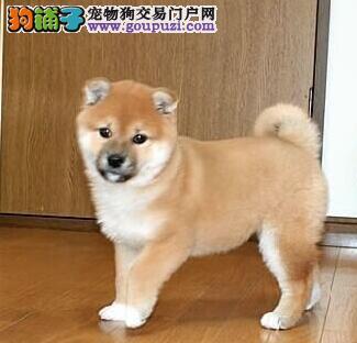 武汉出售纯种秋田犬 品相好保健康终身包看病