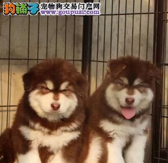 基地直销阿拉斯加幼犬 保证纯种健康 可办血统证和芯片