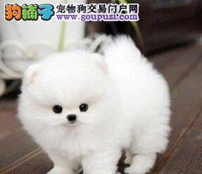 赛级品质哈多利版博美犬火爆出售中 武汉同城可送狗
