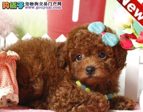 出售优秀品质武汉贵宾犬 已做好进口疫苗保证健康