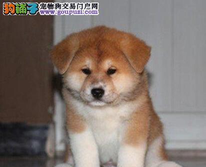 纯种日系秋田犬直销价格出售 武汉附近可上门挑选购买