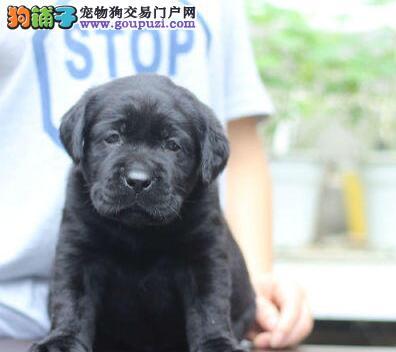 养殖基地直销武汉拉布拉多犬 所出售的每只狗都很健康