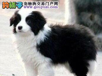 优秀健康武汉边境牧羊犬特价出售 白金汉宫血系保品质
