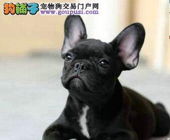 出售聪明伶俐洛阳法国斗牛犬品相极佳CKU认证品质绝对保障