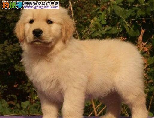 西城犬舍出售黄金猎犬金毛幼犬 纯种带血统带证书