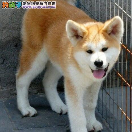 完美品相血统纯正廊坊秋田犬出售签订合法售后协议