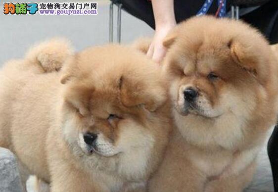 苏州哪里有卖松狮幼犬,苏州纯种松狮买卖松狮价格