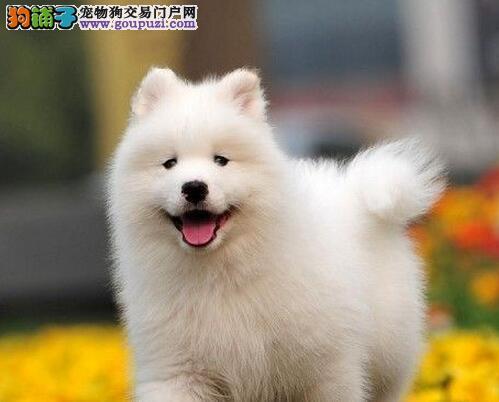 雪白无水锈毛量足的北京萨摩耶找新家 定时做疫苗驱虫
