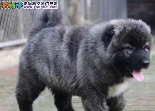 福州正规犬舍直销大骨架高加索犬 血统纯正已做疫苗