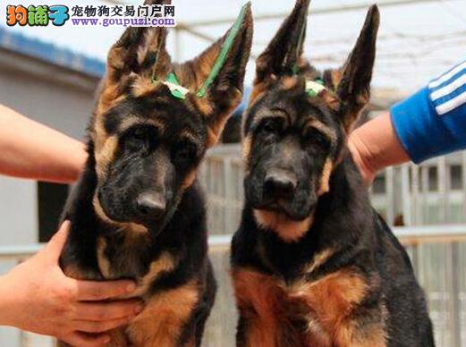 霸气大骨量弓背的昆明德国牧羊犬低价出售 狗贩子勿扰