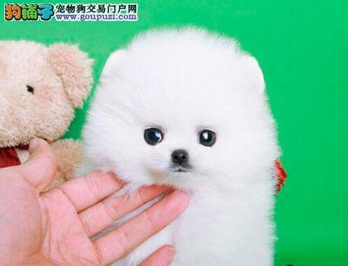 权威机构认证犬舍 专业培育博美犬幼犬国际血统证书
