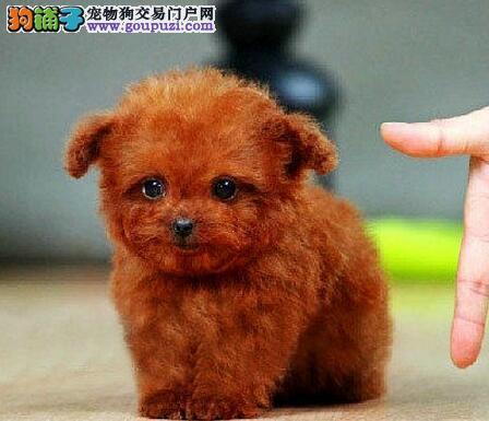 攀枝花实体店低价促销赛级泰迪犬幼犬爱狗人士优先狗贩勿扰