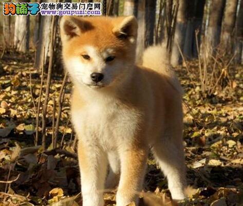 出售日系乌鲁木齐秋田犬 周边地区建议上门挑选
