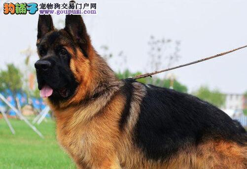 纯种德国牧羊犬出售 CKU认证犬舍 讲诚信信誉好