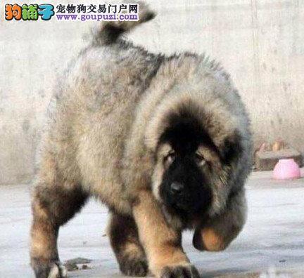 狼青色原生态血系的贵阳高加索犬找新家 速来选购吧