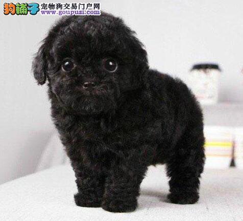 深红色茶杯玩具体型的泰迪犬找新主人 贵阳市内可送货
