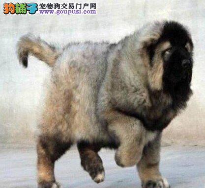 巨型狼青色的中山高加索犬火爆直销中 品质绝对保证