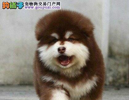 十字脸巨型品质的贵阳阿拉斯加犬找新家 狗贩子勿扰