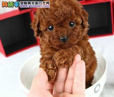 南昌精品高品质泰迪犬幼犬热卖中当日付款包邮