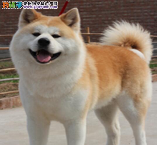 顶级优秀的纯种周口秋田犬热销中一宠一证视频挑选