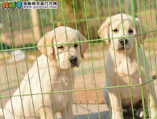 自家繁殖多只精品兰州拉布拉多犬出售签协议