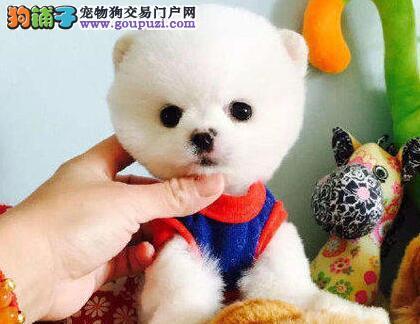 贵阳大型培育中心出售大毛量博美犬 随时上门选购爱犬