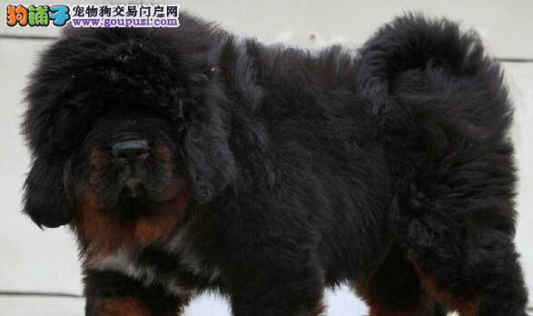 上海纯种健康的藏獒幼犬宝宝出售了