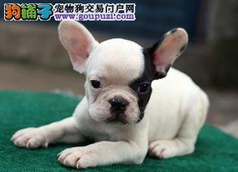 新余自家繁殖法国斗牛犬出售公母都有全国当天发货