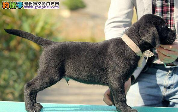 养殖场转让纯种济南拉布拉多犬品相好可签订购买协议