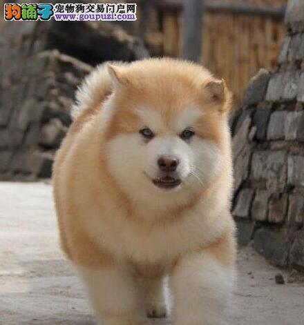 出售纯种双十字厦门阿拉斯加雪橇犬 可办理血统证书