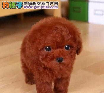 泰安家养韩系泰迪犬出售颜色多只可上门挑选
