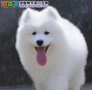 出售萨摩耶幼犬品质好有保障欢迎您的光临