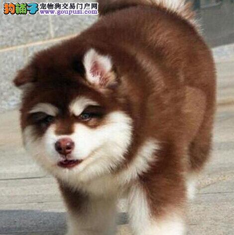 阿拉斯加犬最大的正规犬舍完美售后喜欢微信咨询