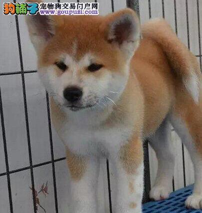 大同繁殖基地出售多种颜色的秋田犬质保协议疫苗驱虫齐全