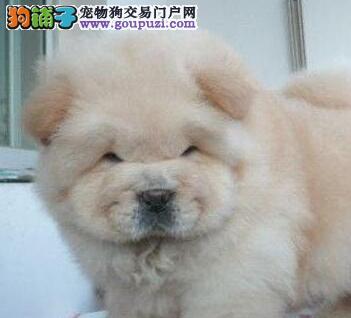 台州CKU认证犬舍出售肉嘴松狮犬 可办血统证+芯片