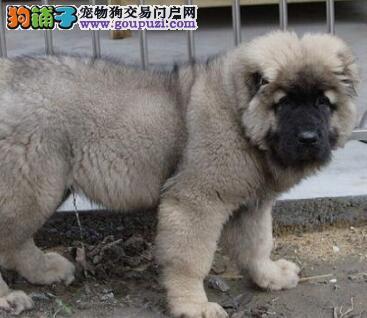 售熊版狼青色巨型青岛高加索犬 疫苗和驱虫均已做完