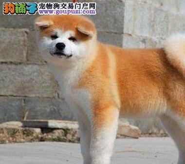 出售秋田幼犬-纯种健康-品质终身质保 直接上门选
