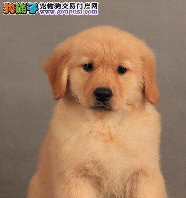 纯种大骨架黄金大头海口金毛幼犬出售 签协议质保