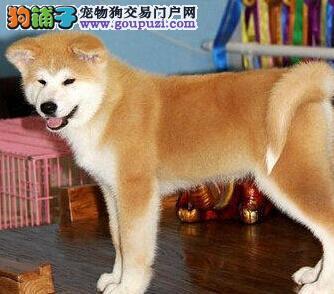 出售正宗血统优秀的秋田犬假一赔万签活体协议