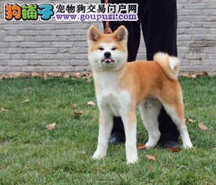 售高气质高品质的合肥秋田犬 品质有保障信誉售后
