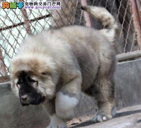 广州家养个性凶猛的高加索犬出售驱虫已做