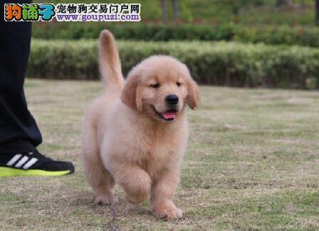 金毛 天津优品犬业 纯种极品幼犬