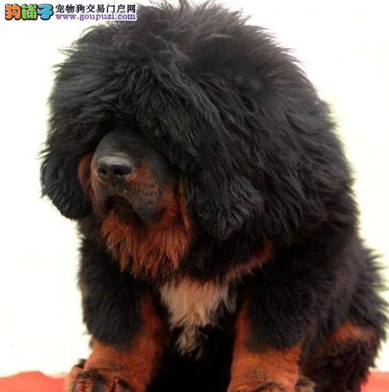 出售自家繁殖的纯种藏獒幼犬