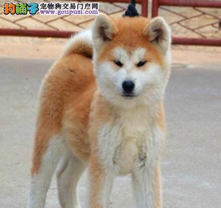 国外引进纯秋田犬 高端大气精典品质 微信咨询看狗