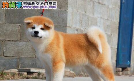 高品质秋田犬宝宝、实物拍摄直接视频、提供养护指导