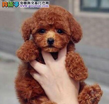 淄博犬舍出售精品泰迪犬证书齐全驱虫疫苗已做