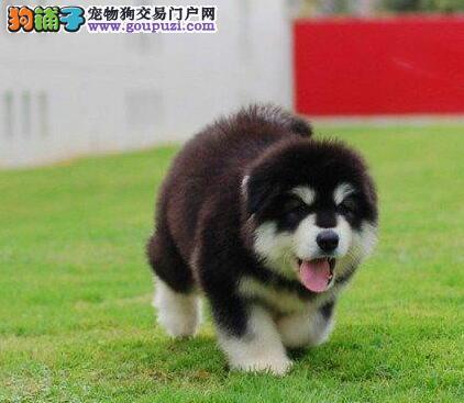 权威机构认证犬舍 专业培育阿拉斯加犬幼犬以品质惊世人